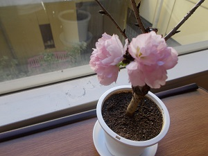 おうちに小さな春が来ました🌸(ショートステイ)