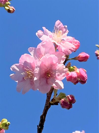 桜に祈り・・・