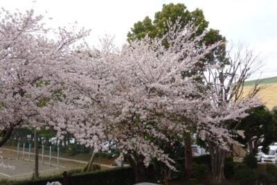 🌸お花見🍶No.2