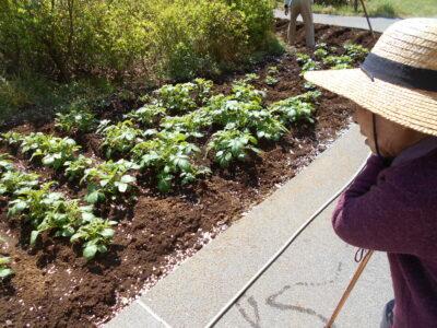 畑にトウモロコシの種を植えました!!!!!