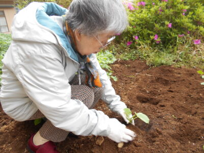 畑にカボチャの苗を植えました!!!!!