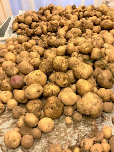 ジャガイモの収穫作業をしました!!!!!